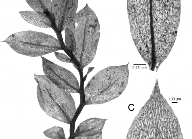 Biogeography and integrative taxonomy of Epipterygium (Mniaceae, Bryophyta)