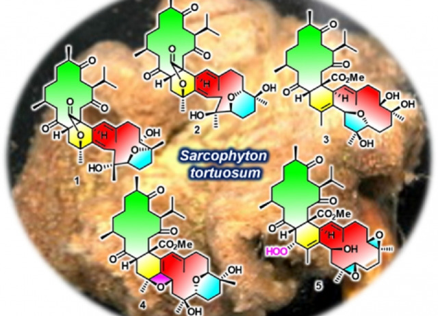Polyoxygenated anti-inflammatory biscembranoids from the soft coral Sarcophyton tortuosum and their stereochemistry