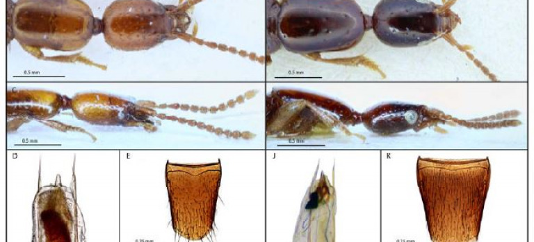 Mitogenomic phylogenetics of Diochus occultus n. sp., a palaeoendemic endogean species within the tribe Diochini (Coleoptera: Staphylinidae: Staphylininae)